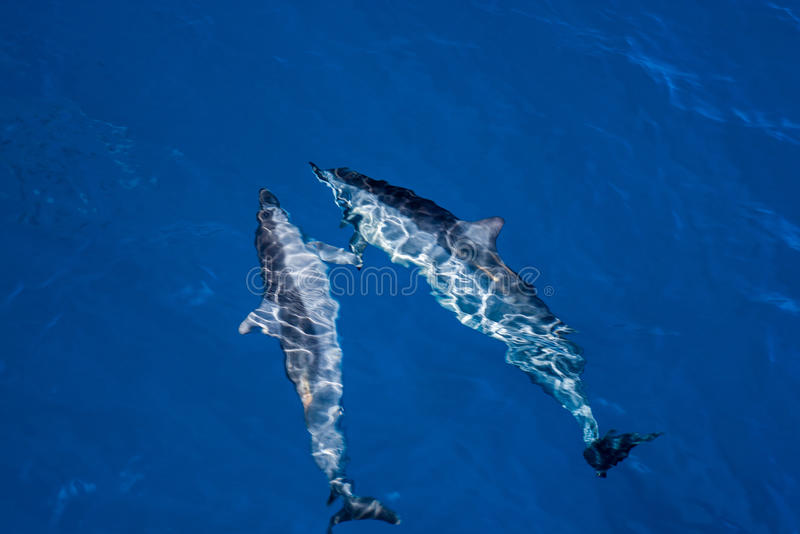Paar dolfijnen van de hawaiinspinner royalty-vrije stock foto