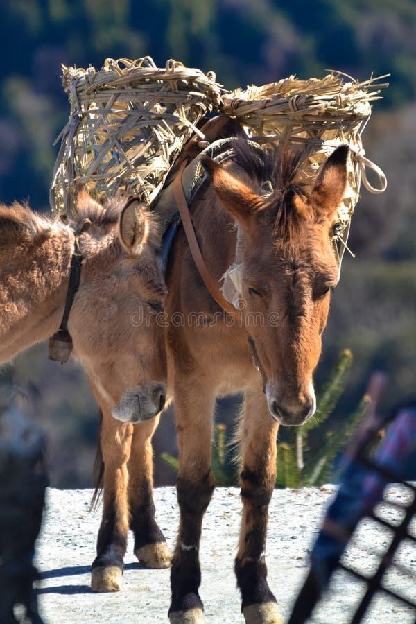 Paar Droevige het kijken het Werkmuilezels, in Nepal stock foto