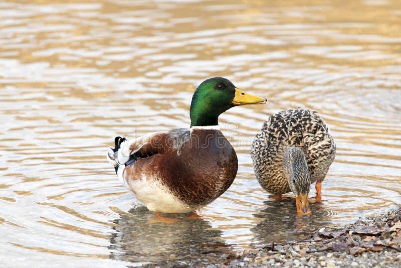 Paar eenden bij het meer stock afbeeldingen