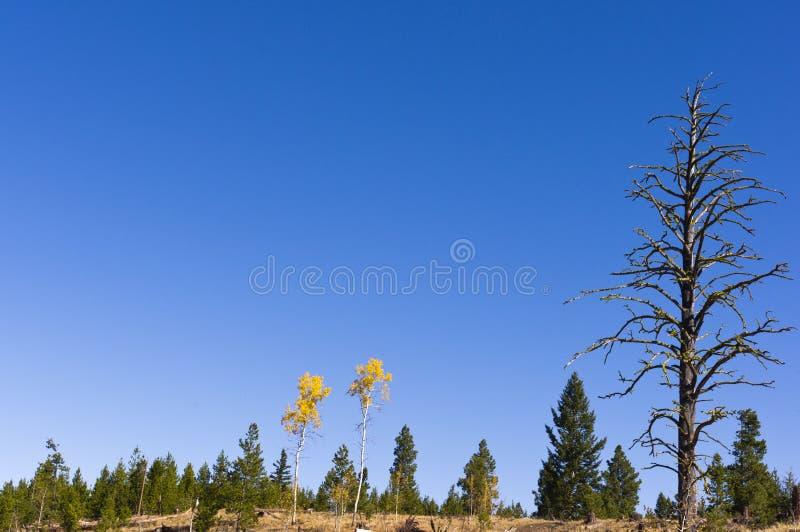 Paar espen in de herfstkleuren stock afbeeldingen