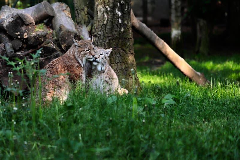 Paar eurasian rysie w lesie zdjęcie stock