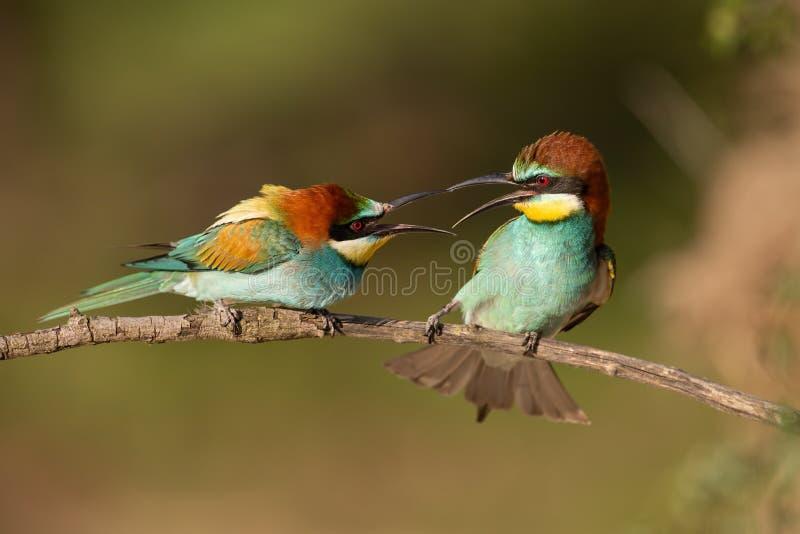 Paar Europese bij-eters, merops apiaster figahting stock fotografie