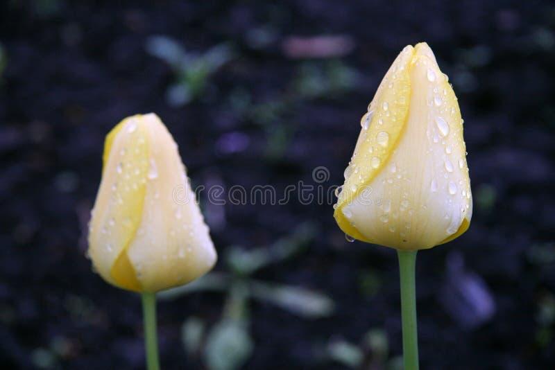 Paar gele tulpen stock afbeeldingen