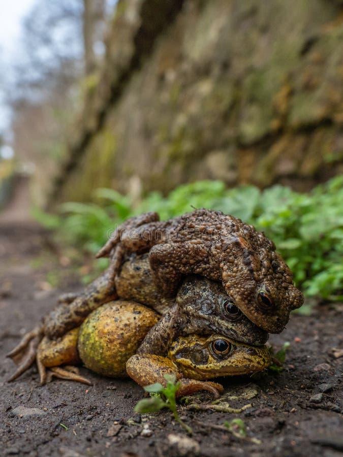 Paar gemeenschappelijke kikkers, Rana-temporaria, met mannelijke gemeenschappelijke pad, Bufo-bufo De lente, Schotland stock afbeelding