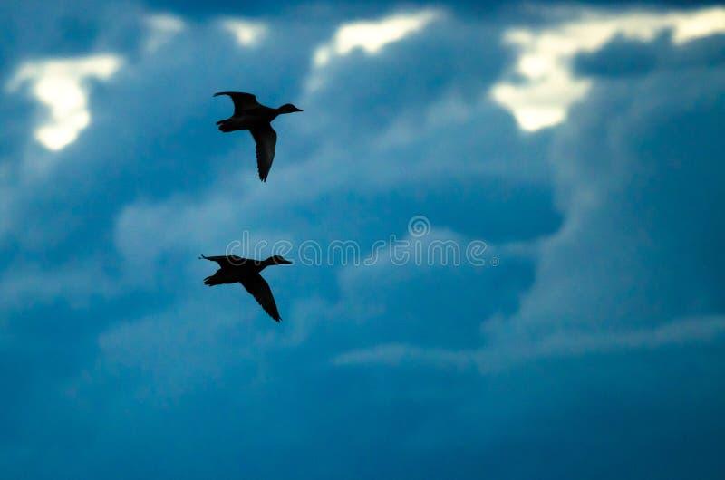 Paar Gesilhouetteerde Eenden die in de Donkere Avondhemel vliegen stock foto