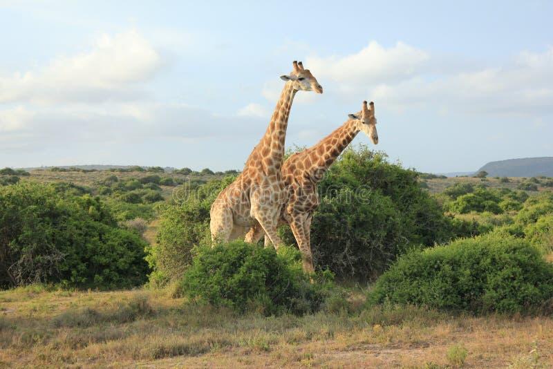 Paar Giraffen stock fotografie