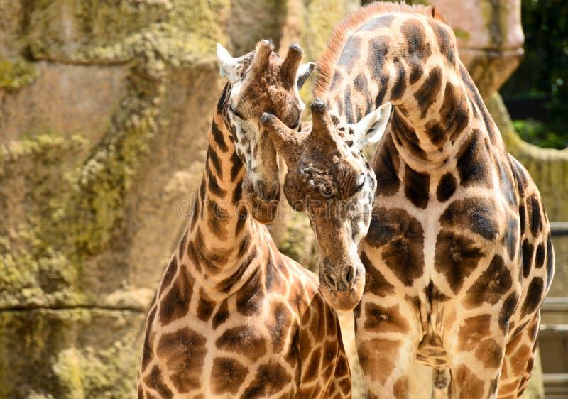 Paar giraffen in Melbourne stock afbeeldingen