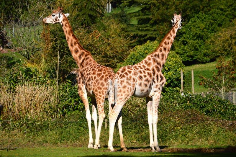 Paar Giraffen van Rothschild stock afbeeldingen