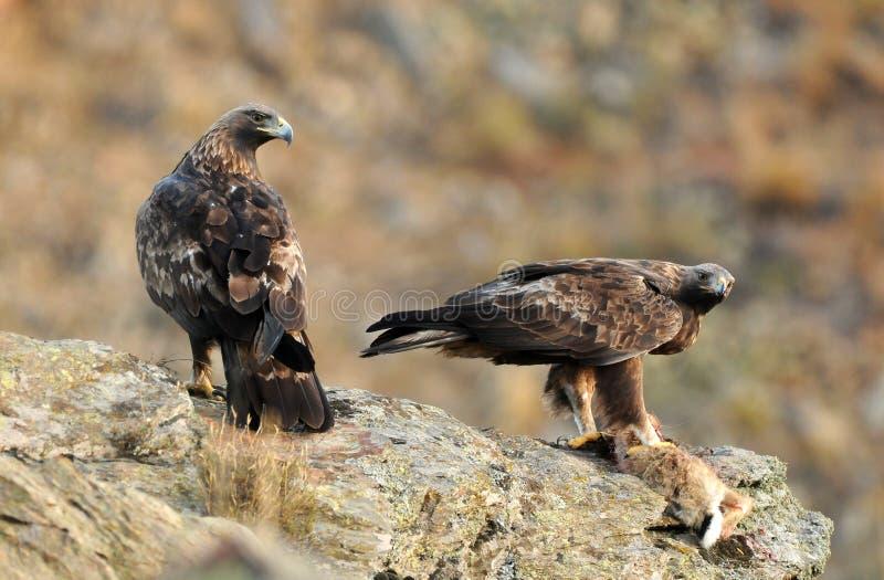 Paar gouden adelaars in de bergen royalty-vrije stock afbeeldingen