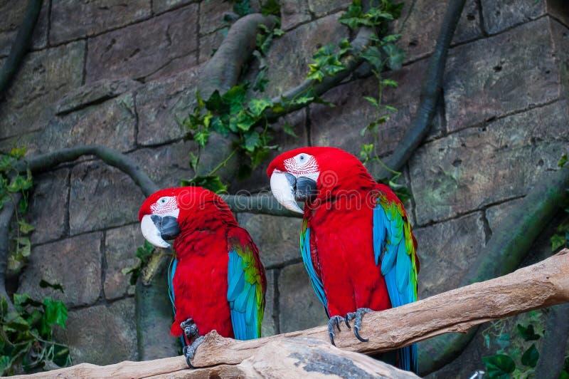 Paar grote Scharlaken Rode Ara's, Aronskelken die Macao, twee vogels op de tak zitten Het wildscène van tropische bosaard Beauti  stock afbeeldingen