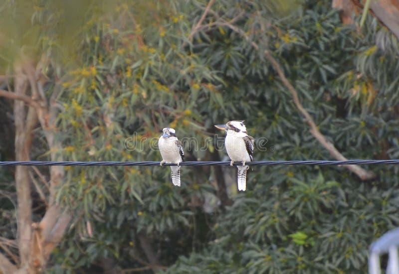 Paar het Lachen kookaburra's royalty-vrije stock afbeeldingen