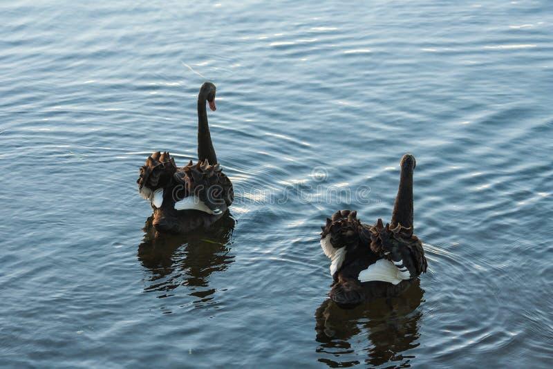Paar het streven naar zwarte zwanen royalty-vrije stock afbeelding