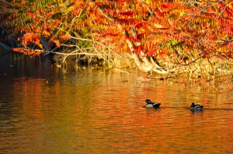 Paar Houten Eenden die in de Uitbarsting van Autumn Color zwemmen stock foto