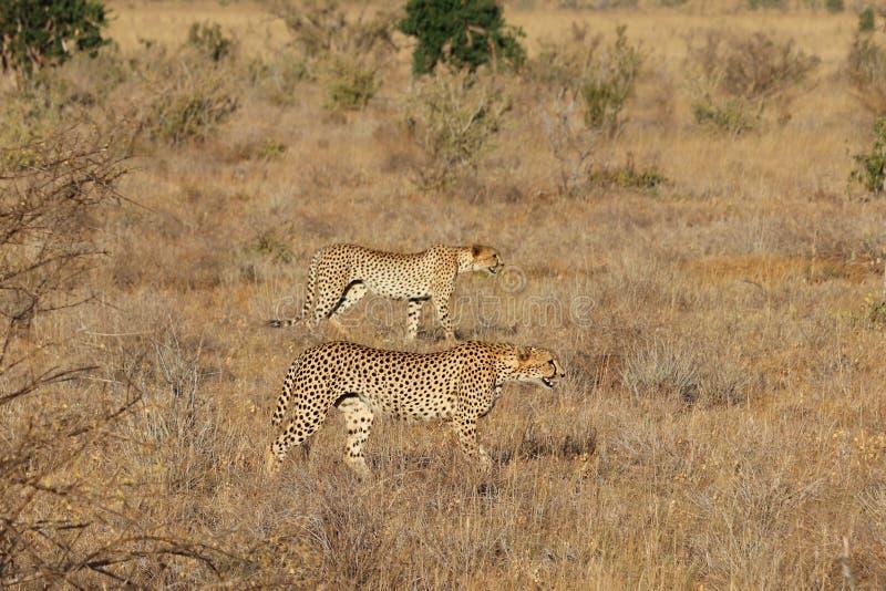 Paar jachtluipaarden op de jacht royalty-vrije stock afbeeldingen