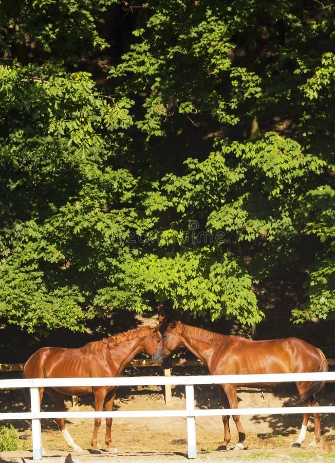 Paar jonge bruine paarden achter witte omheining Paarden het Kussen royalty-vrije stock fotografie