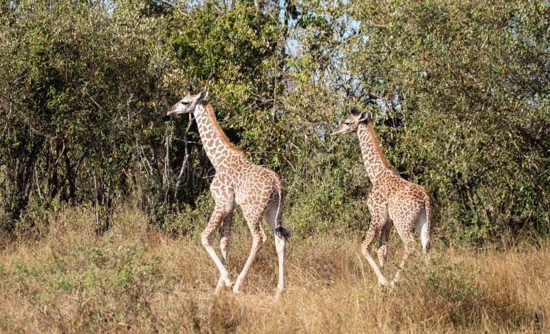Paar jonge masaigiraffen, giraffacamelopardalis, die in struik van Masai Mara van Kenia met lang gras en bomen in backgroun lopen stock afbeelding