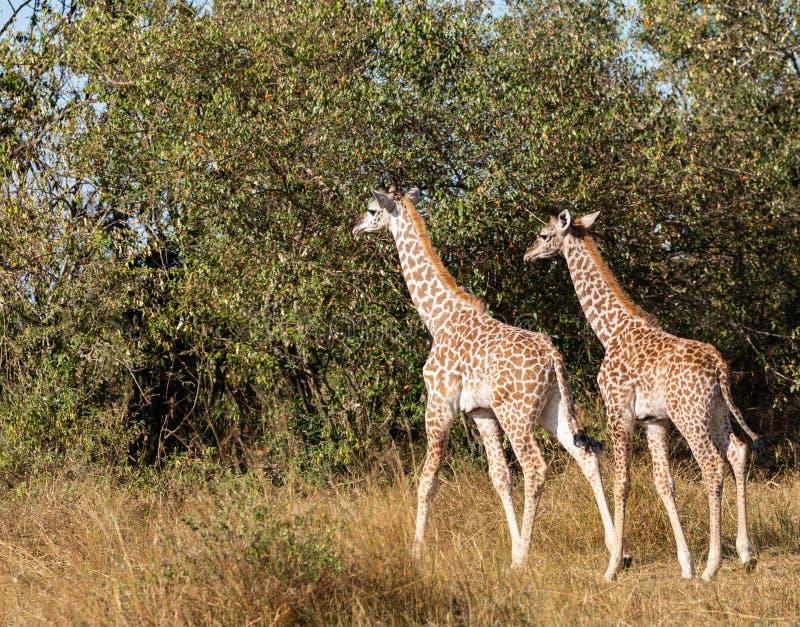 Paar jonge masaigiraffen, giraffacamelopardalis, die in struik van Masai Mara van Kenia met lang gras en bomen in backgroun lopen stock foto's