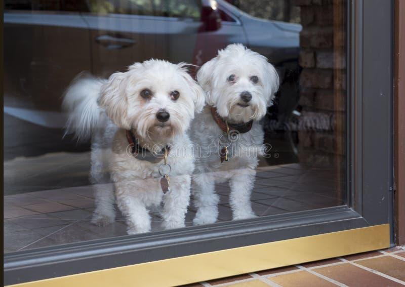 Paar Katoenen honden die wistfully buiten eruit zien royalty-vrije stock foto's
