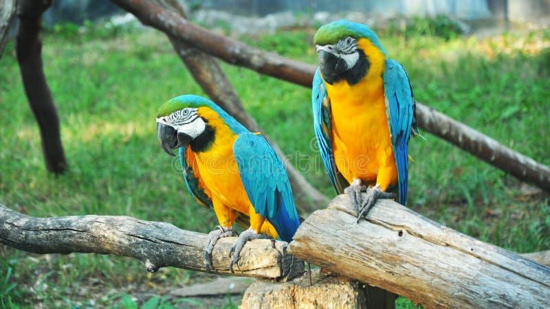 Paar kleurrijke Ara'spapegaaien in dierentuin royalty-vrije stock foto