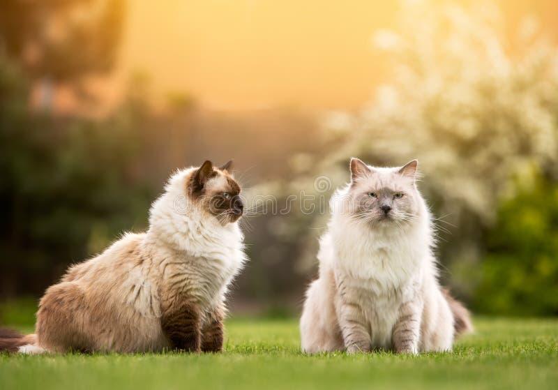 Paar leuke lichte ragdollkatten die samen zitten stock foto