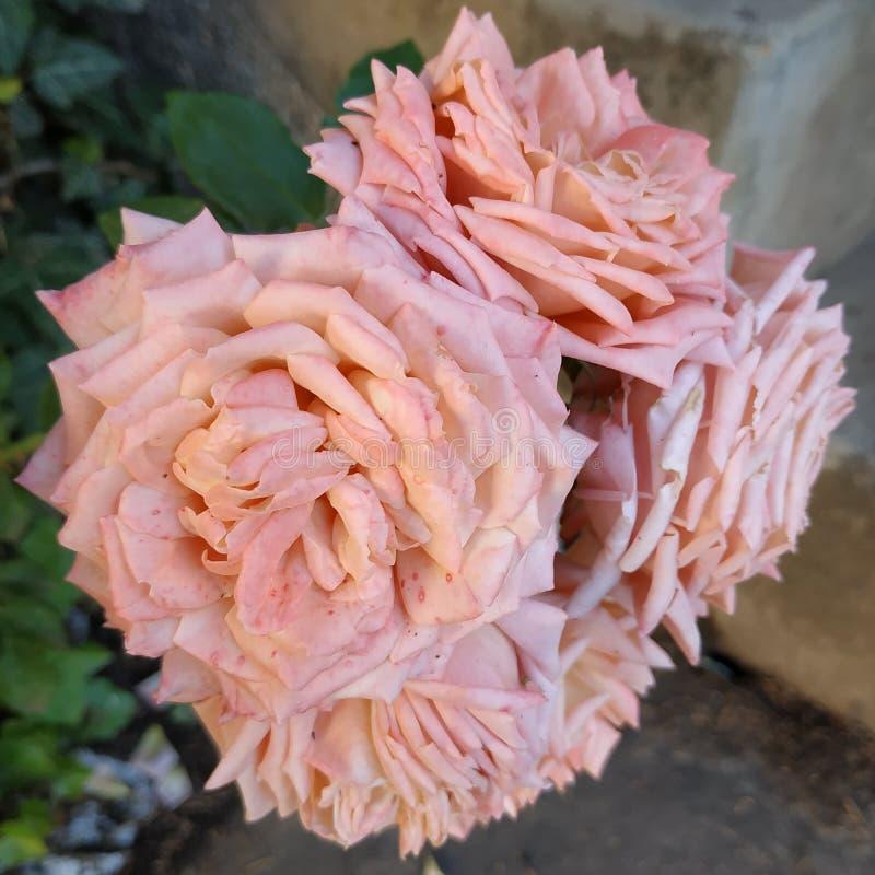 Paar leuke roze rozen stock foto's