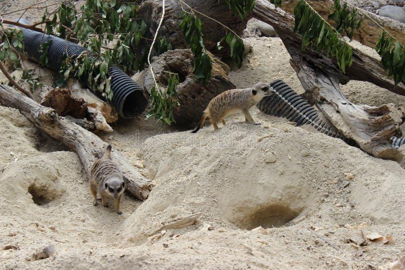Paar meerkats stock afbeelding