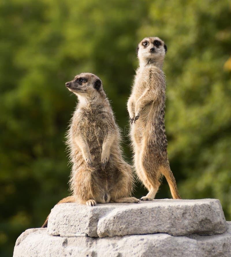 Paar meerkats op vooruitzicht stock afbeeldingen