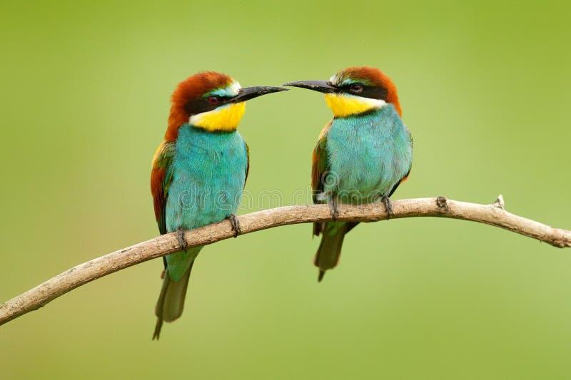 Paar mooie vogels Europese bij-Eters die, Merops apiaster, op de tak met groene achtergrond zitten Twee vogels in Na van Roemenië royalty-vrije stock fotografie