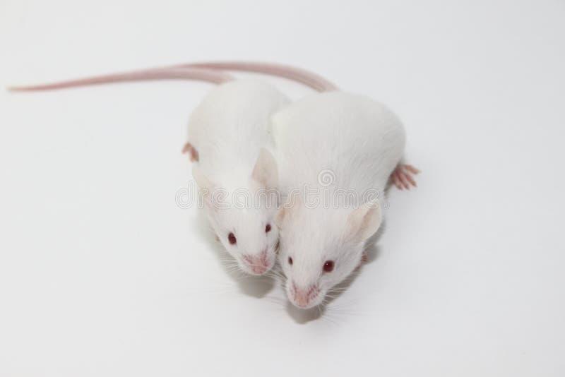 Paar muizen royalty-vrije stock fotografie