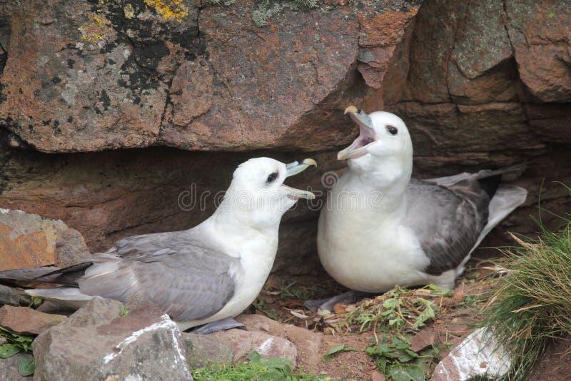 Paar noordse stormvogels die (glacialis Fulmarus) klokken stock fotografie