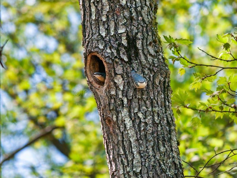 Paar nuthatches op een boom met een holte stock fotografie
