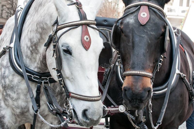 Paar paarden in de close-up van uitrustingssnuiten royalty-vrije stock foto's