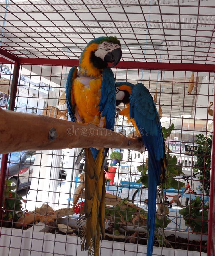 Paar papegaaien in kooi stock afbeeldingen