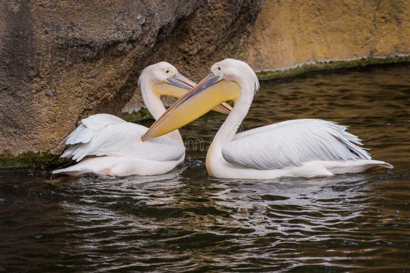 Paar pelikanen royalty-vrije stock foto