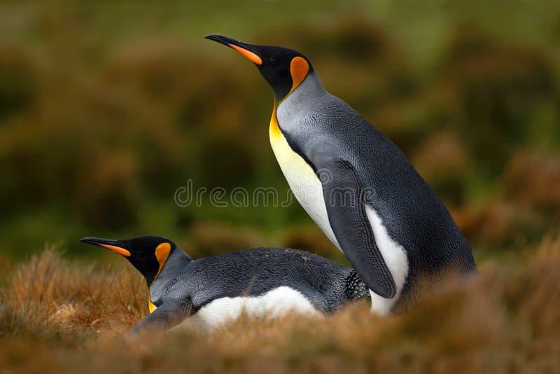 Paar Pinguïnen Het koppelen van koningspinguïnen met groene achtergrond in Falkland Islands Paar pinguïnen, liefde in de aard Moo stock afbeeldingen