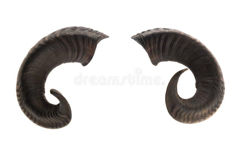 Paar ramshoornen stock afbeeldingen