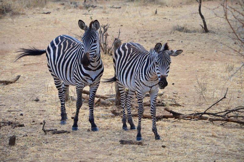 Paar van Afrikaanse zebras in hun natuurlijke habitat royalty-vrije stock fotografie