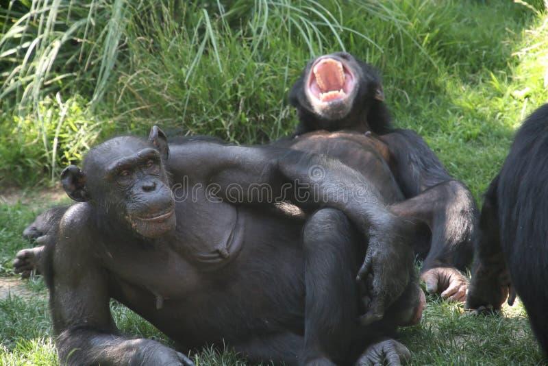 Paar van apen stock fotografie