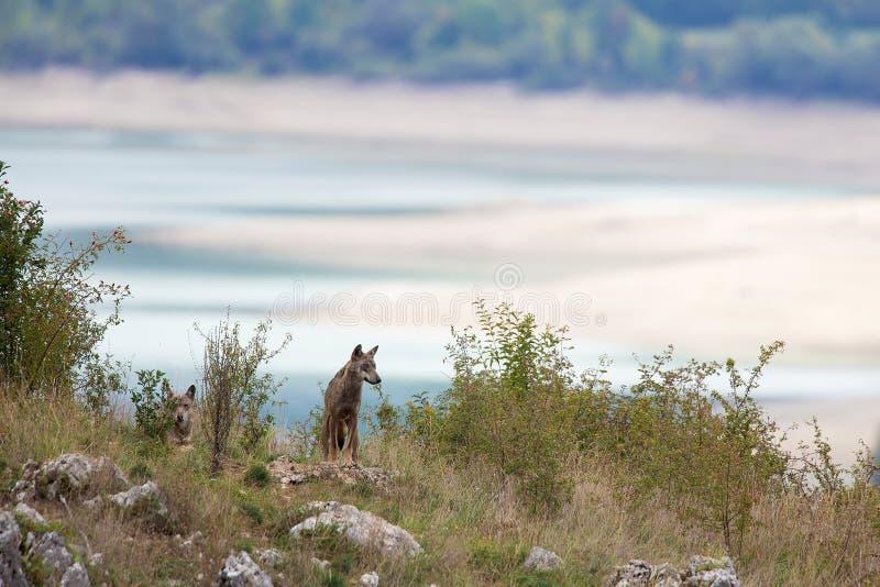 Paar van Apennine wolfs stock fotografie
