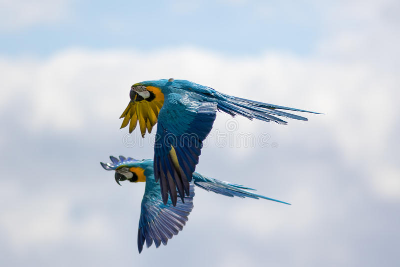 Paar van blauwe en gele of gouden ararauna van ara'saronskelken tijdens de vlucht stock fotografie