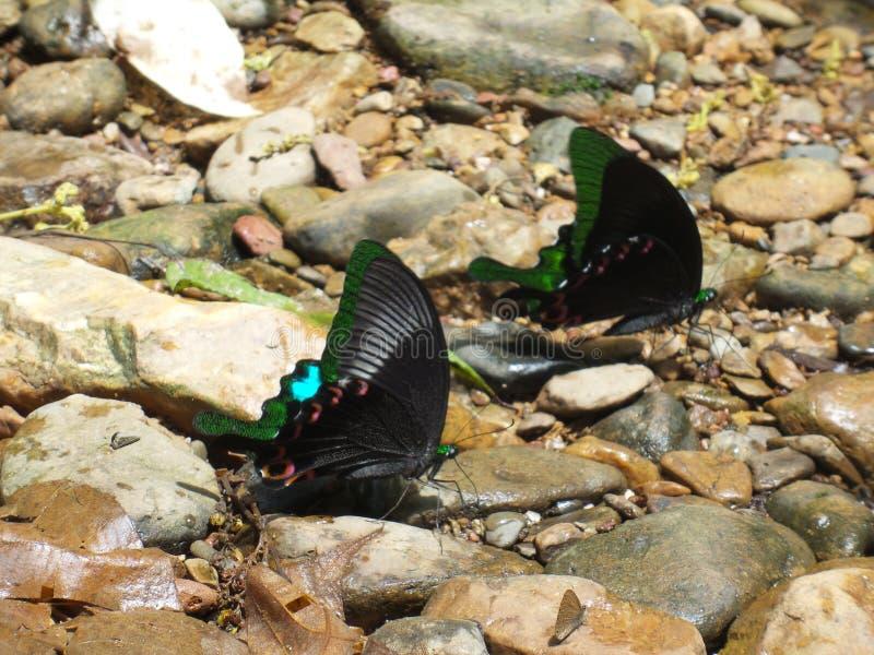 Paar van Blauwgroene Zwarte de vlinderzitting van de kleurenvleugel op stonea stock fotografie