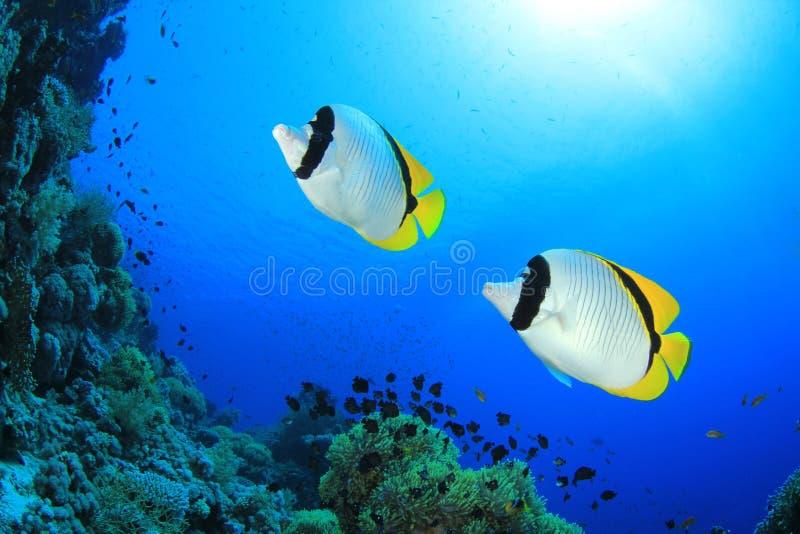 Paar van Butterflyfish royalty-vrije stock afbeelding