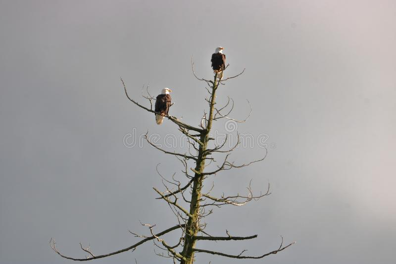 Paar van de Amerikaanse Kale Eagles-Jacht stock foto's
