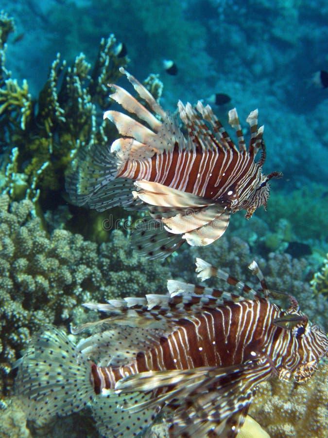 Paar van de Jacht van Lionfish Volitans royalty-vrije stock foto