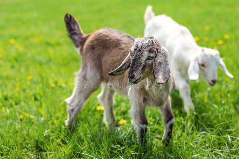 Paar van de jonge geitjes van de babygeit op het de lentegras die samen spelen royalty-vrije stock foto