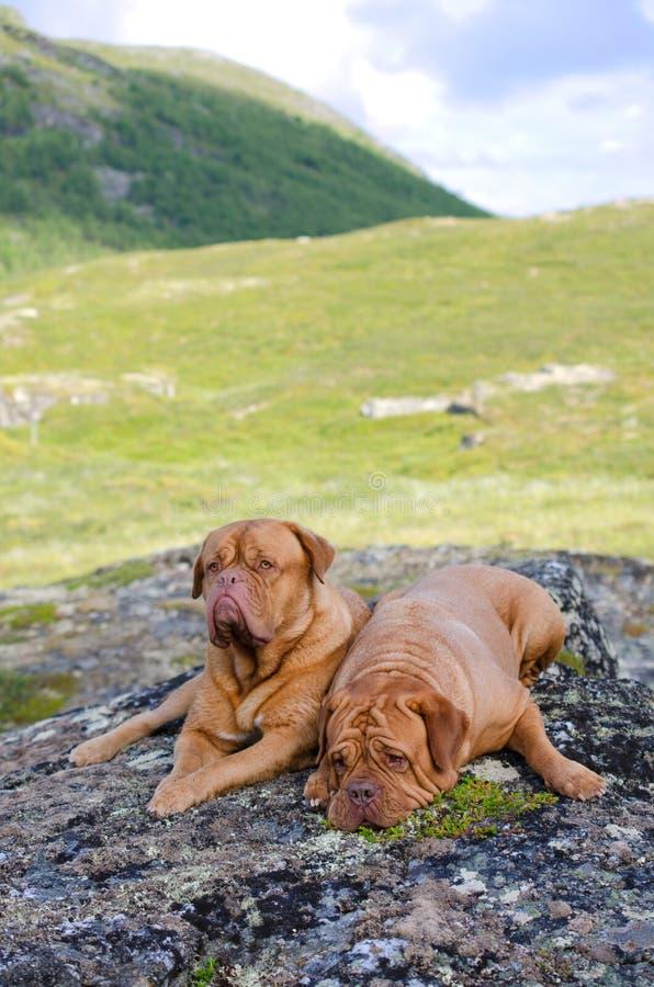 Paar van Dogue DE Bordeaux in Noorse bergen royalty-vrije stock fotografie
