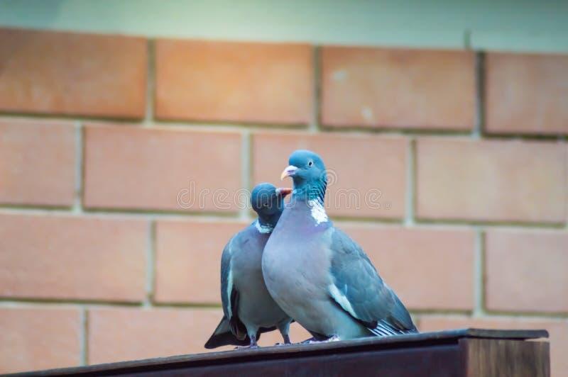 Paar van duiven die op een houten muur cooing stock afbeeldingen