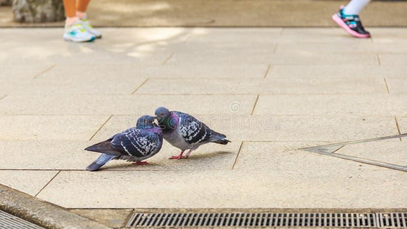 Paar van duivenminnaars die op de vloer van de voetweg kussen stock foto's
