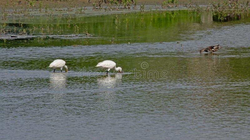 Paar van Europees-Aziatische spoonbills die in een pool in het moeras voederen royalty-vrije stock afbeelding
