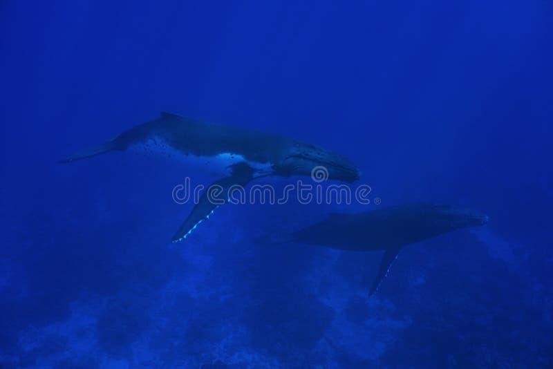 Paar van gebocheldewalvis onderwater royalty-vrije stock afbeeldingen